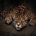 Jaguár americký