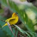 Snovač zlatý (Ploceus subaureus)