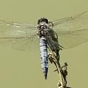 vážka černořitná  ( Orthetrum cancellatum )