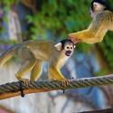 Opice z Norimberku
