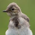 Konipas bílý (Motacilla alba) - mladý
