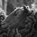 Ovce z Benecka