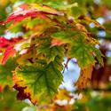Zbarvující se listy stromu