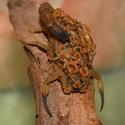 Tityus serrulatus