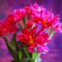 Rozverní tulipáni