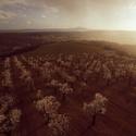 Mandloňové sady v Hustopečích