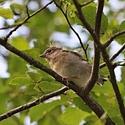 Ptáček junior