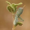 Saranče egyptská (Anacridium aegyptium)