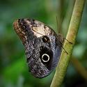 Oka motýlí
