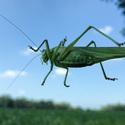 Kobylka od spodu