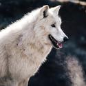 Canis Lupus Arctus