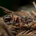 Lesní mravenec