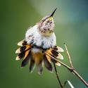Kolibřík | Panama