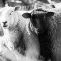 Ovce, každá si dělá... to samé