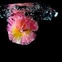 Vodní květina