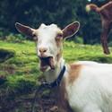 frajerská koza na Šumavě