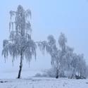 Břízy v zimním ošacení