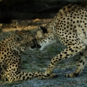 Gepard štíhlý