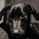 Portrét labradorky