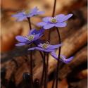 Fialové krásky