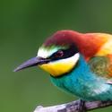 Moravský papoušek