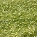 zelené obilí