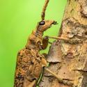 Tesařík hlodavý (Rhagium mordax)