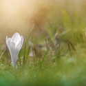 Bílý Šafrán v deštíku