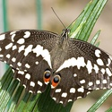 Otakárek citrusový - Papilio demoleus