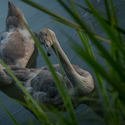 Mladé labutě