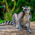 Ostrov Lemurů