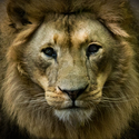 The look of a lion