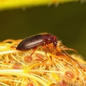 Beetle jelly