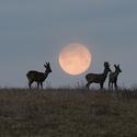 Měsíční srnci