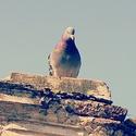 Vrabec v hrsti