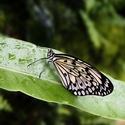 exotický motýl z Fata Morgany