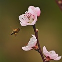 Jarní včelka