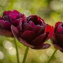 Plnokvětý tulipán
