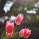 Tulipány za slunečného svitu