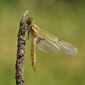 Mimino vážky čtyřskvrnné