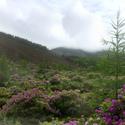 Rododendrony ve skotském lese