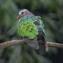 Holub zelenokřídlý