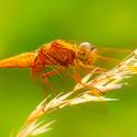 Vážka červená - holka