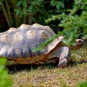 Želva ostruhatá