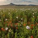 Pole kvetoucích máků setých i vlčích