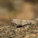 Saranče dlouhokřídlá (Chorthippus brunneus)