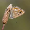 Modrásek jehlicový (Polyommatus icarus) - samička