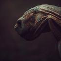 Centrochelys sulcata