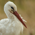 Odpočinek - Čáp bílý (Cicocnia ciconia)