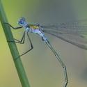 Detail šídlatky páskované - (Lestes sponsa)